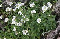 Cerastium carinthiacum subsp carinthiacum () IMG 29255