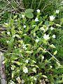 Cerastium pumilum s. str. sl2.jpg