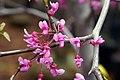 Cercis canadensis Covey 1zz.jpg