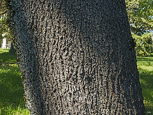 Cercis siliquastrum - Trunk and bark