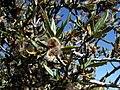 Cercocarpus ledifolius 8214.jpg