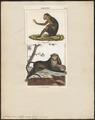 Cercocebus fuliginosus - 1700-1880 - Print - Iconographia Zoologica - Special Collections University of Amsterdam - UBA01 IZ19900137.tif