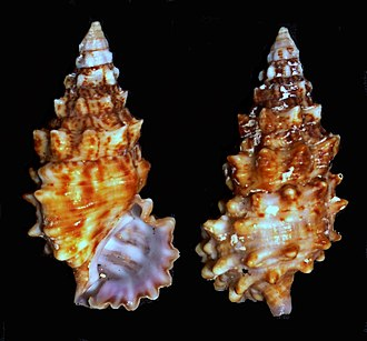 "Cerithium - Two views of a shell of Cerithium echinatum, the ""spiny creeper"""