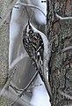 Certhia americana LambtonWoods1.jpg
