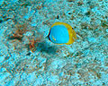 Chaetodon ocellatus (spotfin butterflyfish) (San Salvador Island, Bahamas) (16145992846).jpg