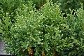 Chamaecyparis pisifera Plumosa Compressa Aurea 2zz.jpg