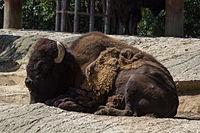 Chapultepec Zoo - American bison (02).jpg