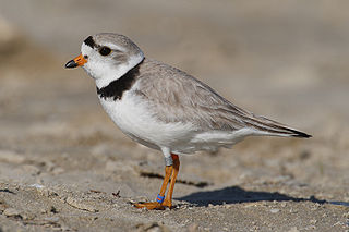 Charadrius melodus, Piping Plover