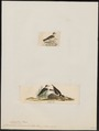 Charadrius semipalmatus - 1700-1880 - Print - Iconographia Zoologica - Special Collections University of Amsterdam - UBA01 IZ17200239.tif