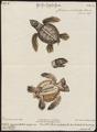 Chelonia imbricata - 1700-1880 - Print - Iconographia Zoologica - Special Collections University of Amsterdam - UBA01 IZ11600191.tif