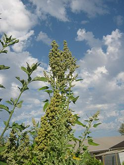 Chenopodium album 4.JPG