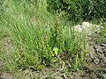 Chenopodium rubrum (s. str.) sl35.jpg