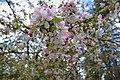 Cherry Blossoms Australia.jpg