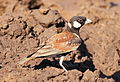 Chestnut-backed sparrow-lark,Eremopterix leucotis at Mapungubwe National Park, Limpopo, South Africa (17913598516).jpg