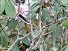 Chestnut tailed Minla I IMG 3742