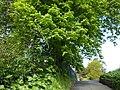 Chestnut tree, access lane, Lymington Road car park - geograph.org.uk - 1838993.jpg
