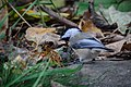 Chickadee (22223206615).jpg