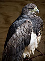 Chilean Eagle (6022470172).jpg