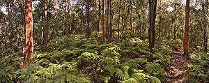 """Beecroft, New South Wales - A walking track in the part of Chilworth Reserve known as """"Byles Bush"""", at the end of York Street."""