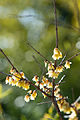 Chimonanthus praecox (12405681863).jpg