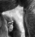 Chimpanzee (13945590012).jpg