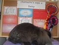 Chintastic's Oops a Daisy, Mini Lion Lop.jpg