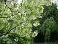 Chionanthus virginicus - Morton Arboretum - 2.jpg