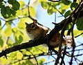 Chipmunk in a Tree (20081923330).jpg
