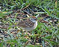 Chipping Sparrow male. Spizella passerina (24706907288).jpg