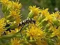 Chlorophorus varius Paludi 01.jpg