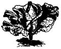 Chou conique de Poméranie Vilmorin-Andrieux 1883.png