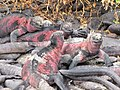 Christmas Iguanas - Marine Iguanas - Espanola - Hood - Galapagos Islands - Ecuador (4871548524).jpg