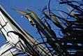Chrysalidocarpus lutescens 5zz.jpg