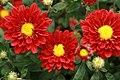 Chrysanthemum Hot Salsa 1zz.jpg