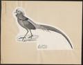 Chrysolophus pictus - 1809-1845 - Print - Iconographia Zoologica - Special Collections University of Amsterdam - UBA01 IZ16900254.tif