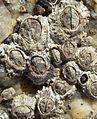 Chthamalus stellatus DSCN7177.JPG