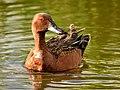 Cinnamon teal on Seedskadee National Wildlife Refuge (34341149734).jpg