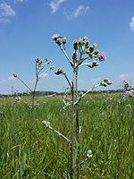 Cirsium brachycephalum sl8.jpg