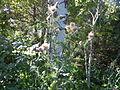 Cirsium vulgare (4995173814).jpg