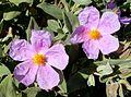 Cistus albidus - Grey-leaved Cistus - (Cistaceae) - Flickr - gailhampshire.jpg