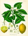 Citrus limonum (Köhler).jpg