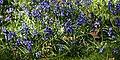 City of London Cemetery Bluebells 1.jpg