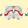 Clavicle - superior view.png