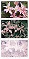 Clematis montana cultivar flowers spectral comparison Vis UV IR.jpg