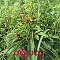 Clerodendrum-2.jpg