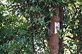 Cleyera japonica (22245423430).jpg