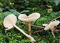 Clitocybe-fragrans-duft-trichterling.jpg