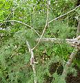Cluster-leaf Asparagus (Asparagus laricinus) (17354941656).jpg