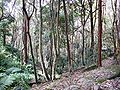 Coachwood Rainforest - Ferndale Park.JPG