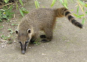 Aché - South American coati